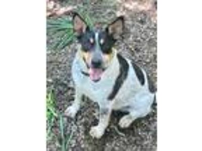 Adopt Freddie a Gray/Silver/Salt & Pepper - with Black Cattle Dog / Mixed dog in