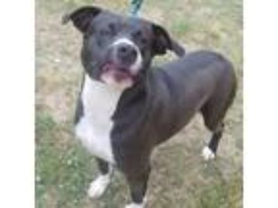 Adopt Boston a American Staffordshire Terrier, Labrador Retriever