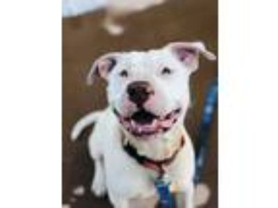 Adopt Dove a White American Staffordshire Terrier / Bull Terrier / Mixed dog in