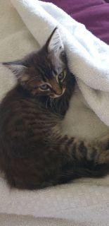 cute kitten for adoption