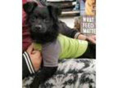 Adopt ! Blackjack a Pomeranian, Spaniel