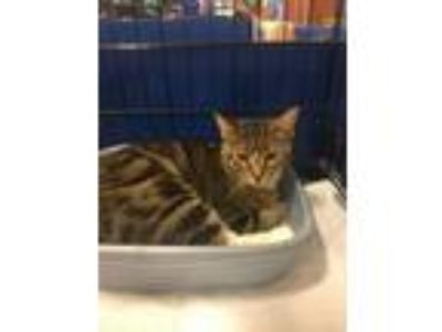 Adopt Mittens a Tabby, Domestic Short Hair