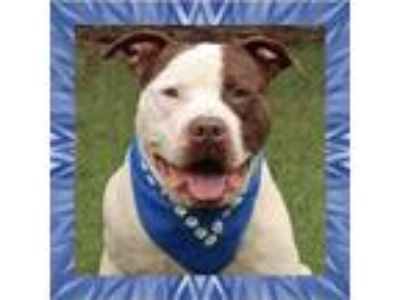 Adopt Willie a American Staffordshire Terrier
