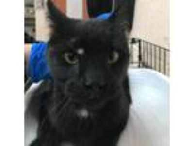 Adopt Scar-83921 a All Black Domestic Shorthair cat in Las Cruces, NM (25327666)