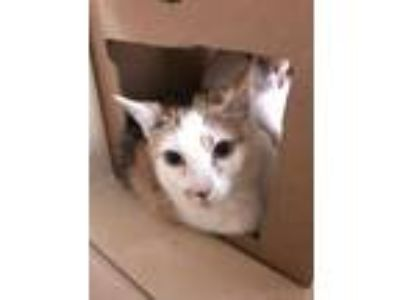 Adopt Calicot a Domestic Short Hair