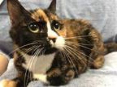 Adopt Priss a All Black Domestic Shorthair / Domestic Shorthair / Mixed cat in