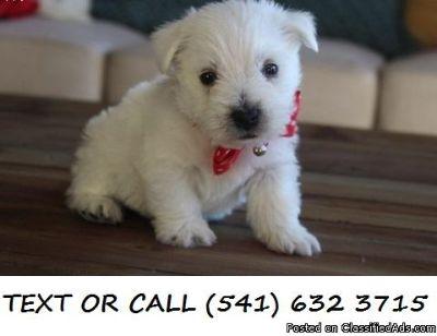 CVDSS(#!*^) Cheerful West Highland White Terrier Puppies