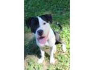 Adopt Pee Wee a American Staffordshire Terrier / Mixed dog in Baltimore