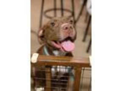 Adopt Lucy a Brown/Chocolate - with White American Pit Bull Terrier / Mixed dog