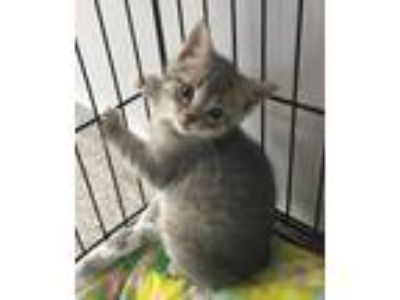 Adopt Jeff a Domestic Shorthair / Mixed (short coat) cat in Angola