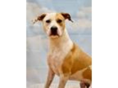 Adopt Apricot a Pit Bull Terrier / Mixed dog in Canton, GA (25139086)