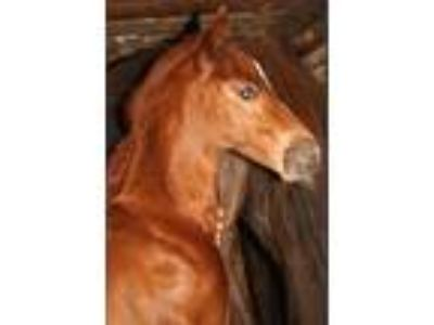 2019 Saddlebred foals for sale Mares are due soon