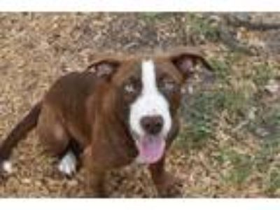 Adopt SCOOBY a Brown/Chocolate - with White Labrador Retriever / Mixed dog in