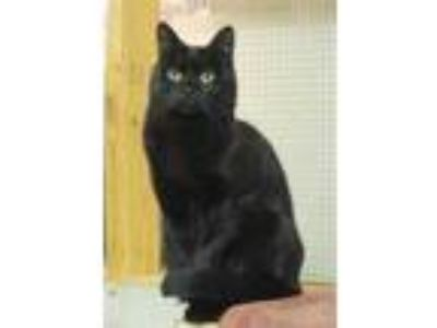 Adopt Alice a All Black Domestic Shorthair / Domestic Shorthair / Mixed cat in
