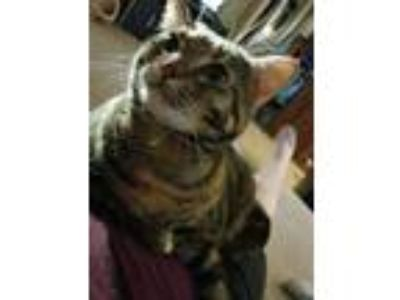 Adopt Rosie a Tortoiseshell Domestic Shorthair / Mixed cat in Jarrell