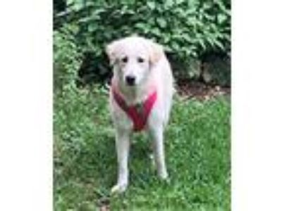 Adopt Angel a White - with Tan, Yellow or Fawn Great Pyrenees / Mixed Breed