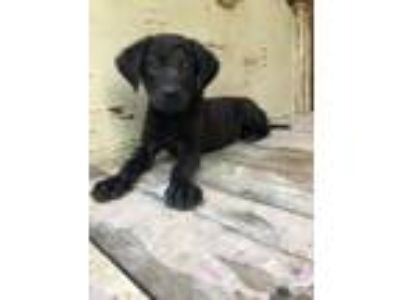 Adopt Ozzy a English Springer Spaniel, Labrador Retriever