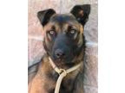 Adopt Trudy a Black Shepherd (Unknown Type) / Mixed dog in Alpharetta