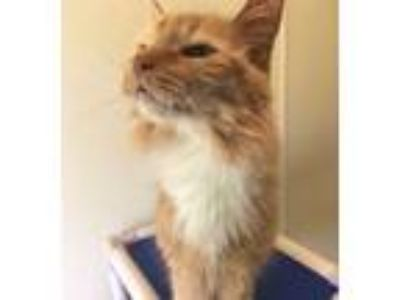 Adopt Ginny a Domestic Long Hair