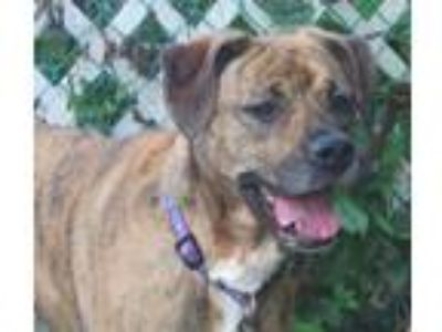 Adopt Kylie Schwarber a Brindle Labrador Retriever / Boxer / Mixed dog in Wood