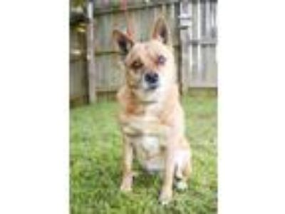 Adopt Shortcake a Tan/Yellow/Fawn - with White Terrier (Unknown Type