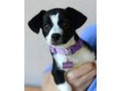 Adopt Pepper a Terrier