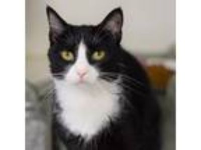 Adopt Hilda a All Black Domestic Shorthair / Domestic Shorthair / Mixed cat in