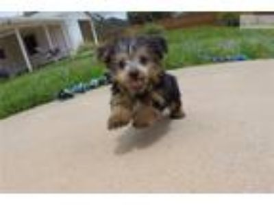 TINY male Yorkshire Terrier puppy for sale - ACA