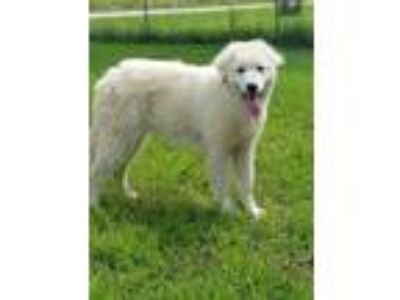 Adopt 5 great pyrenees pups a Great Pyrenees