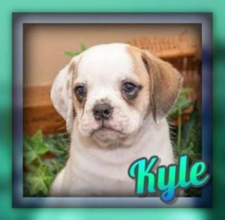 Kyle Male Beabull Puppy