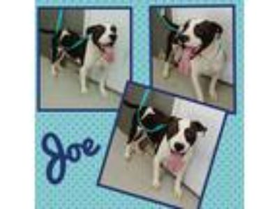 Adopt JOE a Brindle - with White American Pit Bull Terrier / Mixed dog in