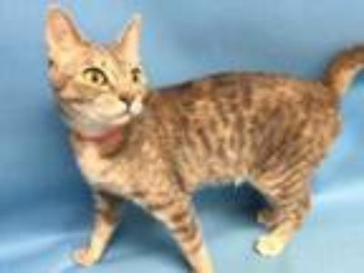 Adopt Pandora a Gray or Blue Domestic Shorthair / Mixed cat in St.