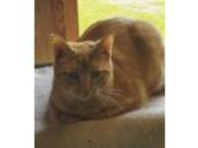Adopt Donald a Domestic Short Hair