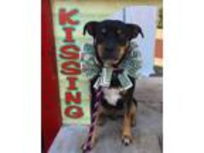 Adopt Roscoe a Miniature Pinscher / Mixed dog in Denton, TX (25327043)