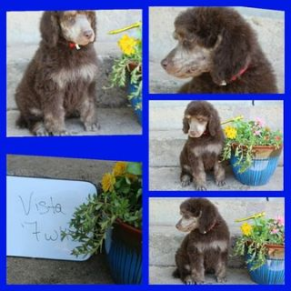 Poodle (Standard) PUPPY FOR SALE ADN-79317 - Brown Phantom Male Standard Poodles Champion Bred
