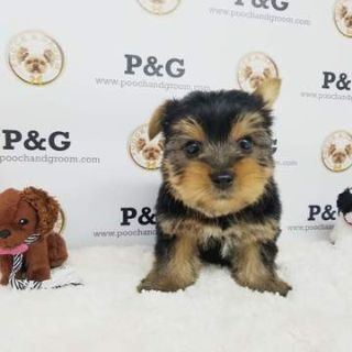 Yorkshire Terrier PUPPY FOR SALE ADN-77047 - Yorkshire Terrier  Max Male