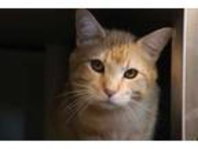 Adopt GOOSE a Orange or Red Tabby Domestic Shorthair / Mixed (short coat) cat in