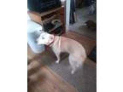 Adopt Maggie a Tan/Yellow/Fawn - with White Labrador Retriever / Whippet / Mixed
