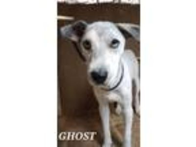 Adopt Ghost coming soon a Gray/Silver/Salt & Pepper - with White Husky / Poodle