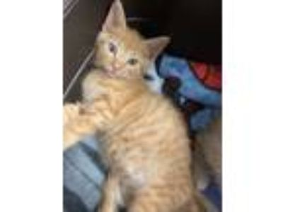 Adopt Ambrosia a Orange or Red Tabby Domestic Shorthair cat in Mount Laurel