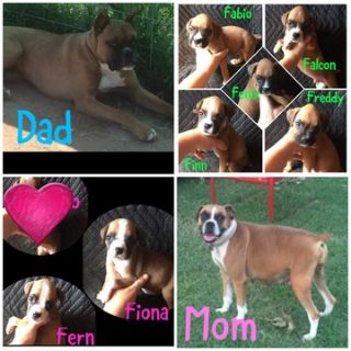 Boxer PUPPY FOR SALE ADN-80498 - ACA registered boxer puppies