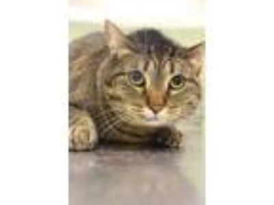Adopt Sassy a Brown or Chocolate Domestic Shorthair / Domestic Shorthair / Mixed