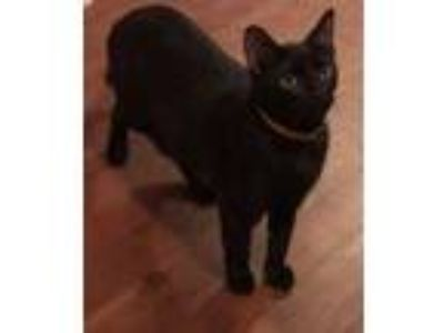 Adopt Vinnie a All Black Domestic Shorthair (short coat) cat in Mansfield