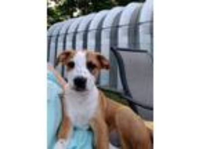 Adopt Huck a Brown/Chocolate - with White Boxer / Mixed dog in Thomasville