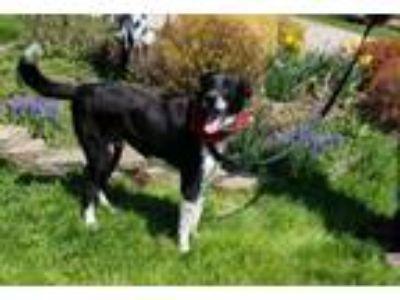 Adopt Domino a Border Collie, Labrador Retriever
