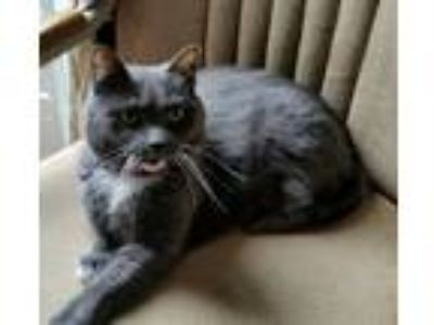 Adopt Calie a Gray or Blue Domestic Longhair / Mixed cat in Yorkville