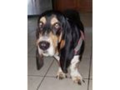 Adopt Earl a Tricolor (Tan/Brown & Black & White) Basset Hound / Mixed dog in