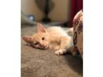 Adopt Forrest 2 a Domestic Shorthair / Mixed (short coat) cat in Hoover