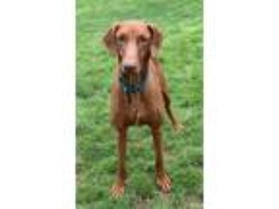 Adopt Gentry a Red/Golden/Orange/Chestnut - with White Doberman Pinscher /