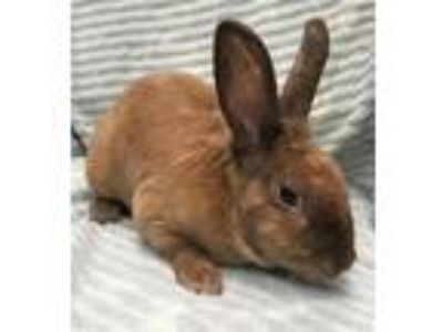 Adopt Puggles a Other/Unknown / Mixed rabbit in Madison, NJ (25838130)